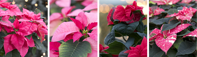 The Rags to Riches Story of the Poinsettia