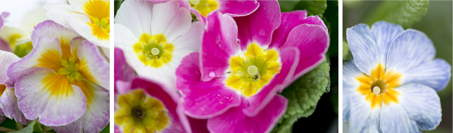 Beacon of Spring: Primula
