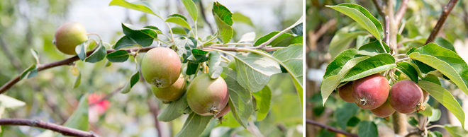 The Sweetest Thing: Picking & Storing Apples