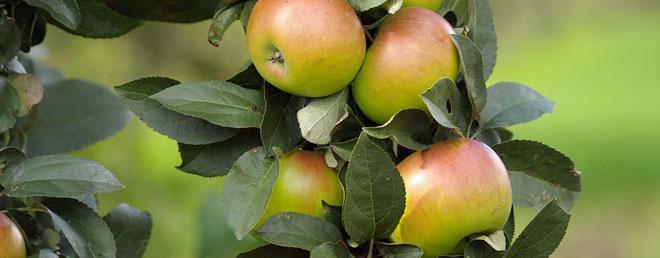 ArticleHeader_Apples