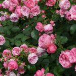 Flowering Shrubs for Cut Flowers