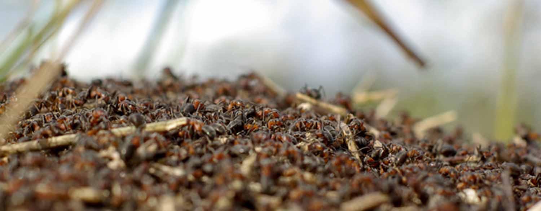 Chemical-Free Ant Control - Salisbury Greenhouse