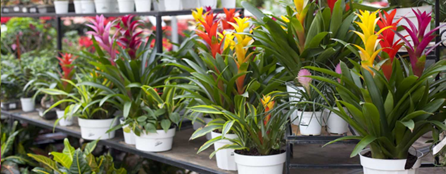 Caring For Your Bromeliad Salisbury Greenhouse