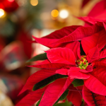 Care Guide for Popular Holiday Gift Plants