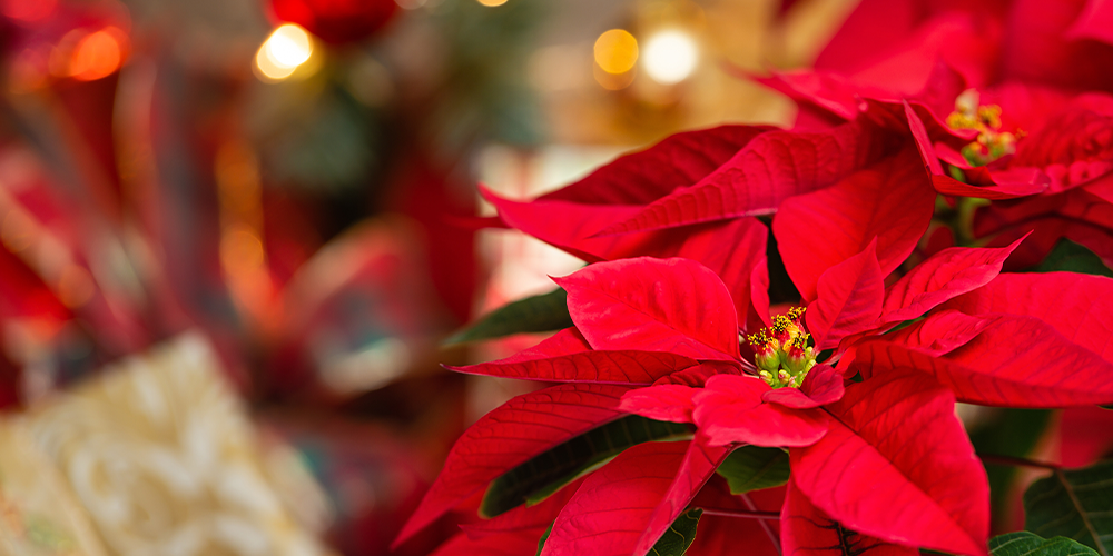 Guide to Holiday Gift Plant Care main
