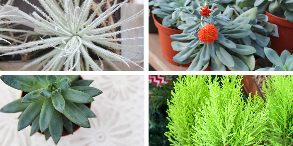 Guide to Holiday Gift Plant Care succulents air plants lemon cypress
