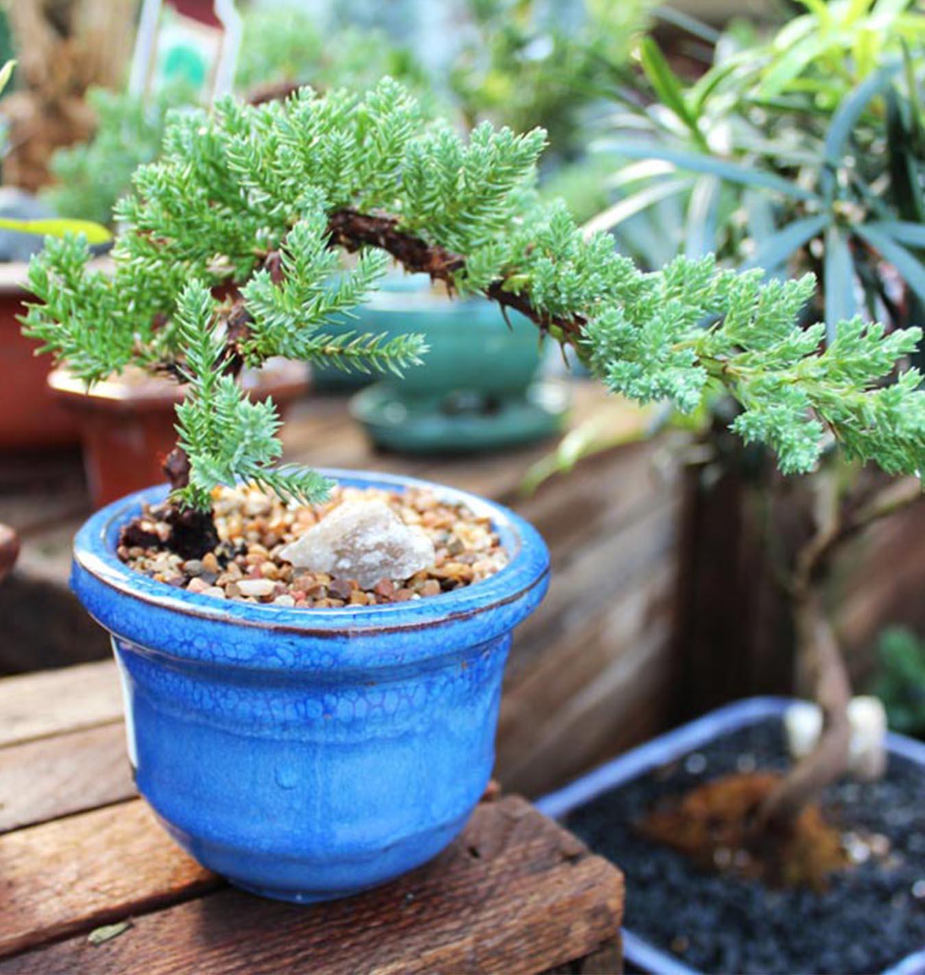 Basics Of Bonsai Trees Salisbury Greenhouse