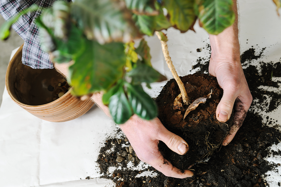 How To Transplant A Houseplant