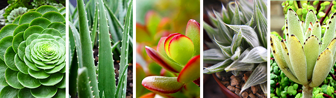 Types Of Succulents Salisbury Greenhouse