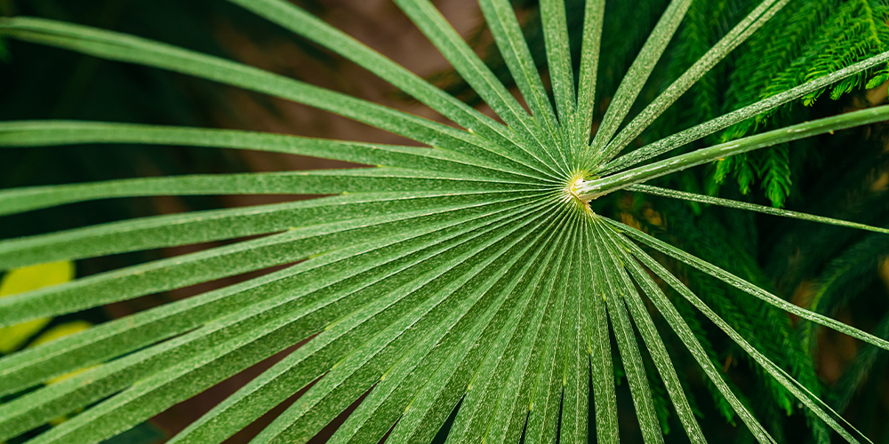 the 3 best tropical palms to cure the winter blues fan palm