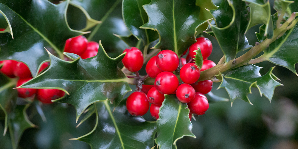 The Legends Behind Popular Christmas Plants holly