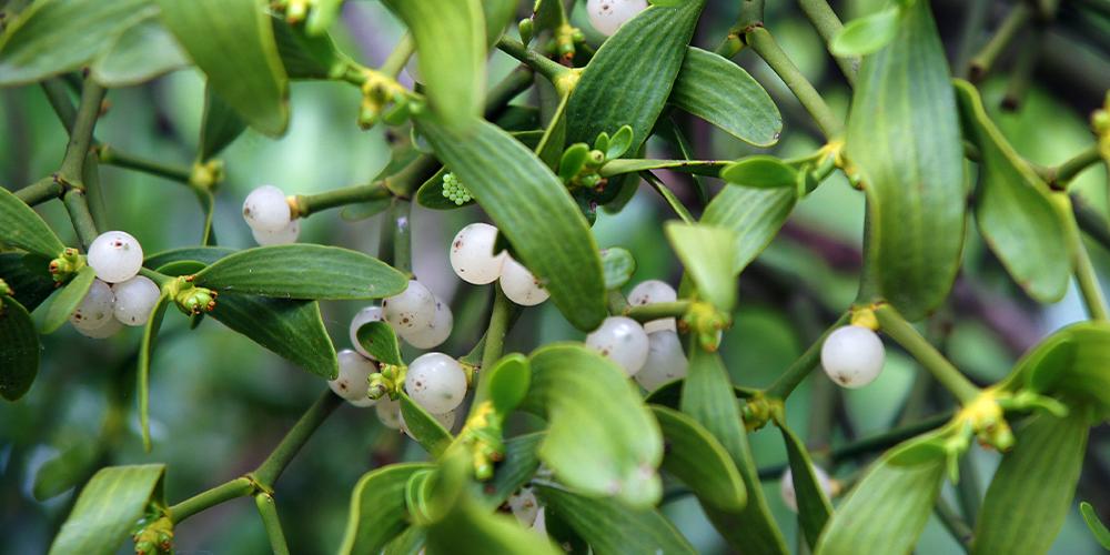 The Legends Behind Popular Christmas Plants mistletoe