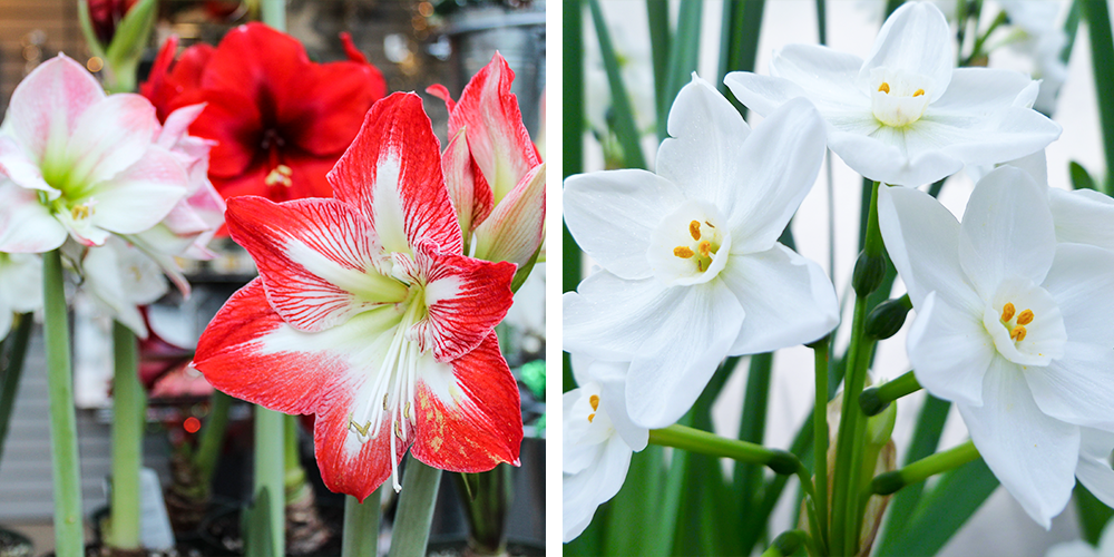 Guide to Holiday Gift Plant Care amaryllis paperwhites