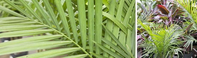 A Short History Of Palm Leaves Salisbury Greenhouse Find images of tropical leaves. a short history of palm leaves