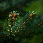 The Hidden Benefits of Evergreens